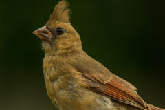 Female Red Cardinal Royalty Free Stock Photography