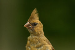 Female Red Cardinal Stock Photography