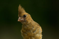 Female Red Cardinal Royalty Free Stock Photos