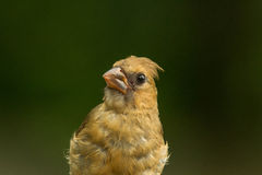 Female Red Cardinal Stock Image