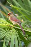 Female Red Cardinal Eating A Seed. A female Red Cardinal is eating a seed on a palm frond stock photography