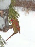 Female Red Cardinal Feeding after Snow Storm Royalty Free Stock Image