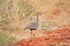 Female Red-crested Korhaan or Red-crested Bustard Royalty Free Stock Photography