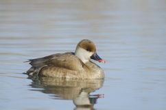 Female Red Crested Pochard. (netta rufina Royalty Free Stock Images