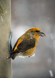 Female Red Crossbill Stock Photos