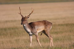 Female red Deer Stock Image