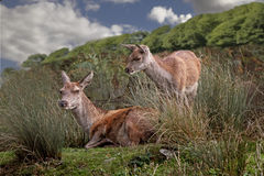 Female Red Deer Royalty Free Stock Photography