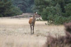 Female red deer. In the National Park De Hoge Veluwe, Netherlands Royalty Free Stock Images