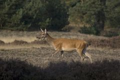 Female red deer. In the National Park De Hoge Veluwe, Netherlands Stock Image
