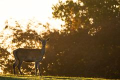 Female Red Deer Backlit with Golden Morning Light Royalty Free Stock Photo
