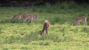 Female red deer stock footage