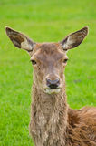 Female red deer Royalty Free Stock Photo