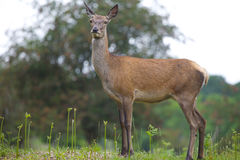 Female Red Deer Stock Photos