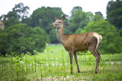 Female Red Deer Royalty Free Stock Images