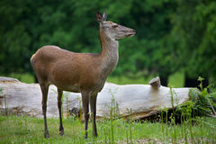Female Red Deer. Female Red Dear in the park Royalty Free Stock Images