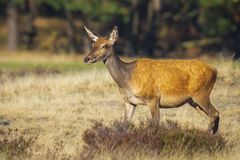 Female Red Deer doe or hind, Cervus elaphus. Female Red Deer doe or hind Cervus elaphus in a meadow with purple heather in front of a forest on a sunny day royalty free stock photo