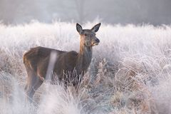 Female Red Deer Doe Standing in a Mist Covered Meadow stock photo