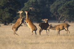Female red deer fighting over an apple in the National Park De Hoge Veluwe royalty free stock image