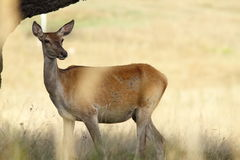 Female red deer in a glade Royalty Free Stock Photography