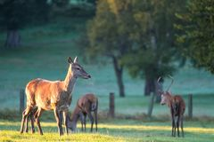 Female Red Deer in Golden Morning Light Stock Photography