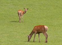Female red deer grazing. Stock Photos