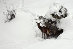 Female red deer in the hard winter royalty free stock images