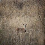 Female red deer hide in reed on winter day in dutch nature park oostvaarders plassen. Near Lelystad on flevoland Stock Image