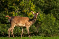 Female Red Deer. Looking straight into the camera Stock Photo