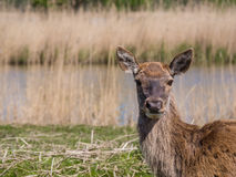 Female red deer Royalty Free Stock Photos