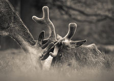 Female Red Deer Loos Lovingly at Stag. This romantic sepia scene shows a female red deer bowing down towards a large stag who is lying down in a woodland setting Royalty Free Stock Photo