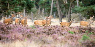 Female red deer in mating season Stock Photography