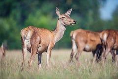 Female red deer in meadow. royalty free stock images