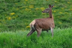 The female red deer Stock Image