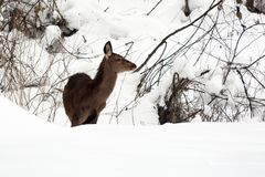 Female red deer in the snow royalty free stock image