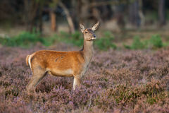 Female Red Deer standing in the Heather. A female Red Deer standing in the Heather Stock Image