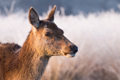 A Female Red Deer Walking Through an Icy Meadow in England, UK. A beautiful female Red Deer walks through an ice coated meadow in England, as the early morning Stock Photos