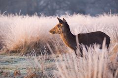 Female Red Deer Chewing Grass in Warm Sunlight. A Female Red Deer in warm morning Sunlight chewing grass and looking into the distance over frost covered meadows Royalty Free Stock Image