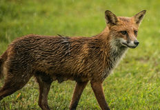 Female Red Fox Royalty Free Stock Photography