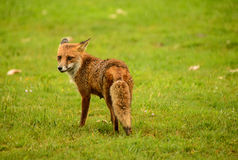 Female Red Fox Stock Photography