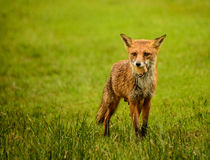 Female Red Fox Stock Images
