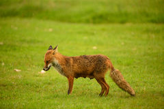 Female Red Fox Stock Photo