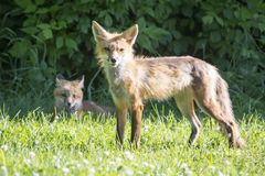 Female red fox with its young Royalty Free Stock Photography