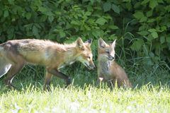 Female red fox with its young Stock Image