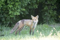 Female red fox in a meadow Royalty Free Stock Images