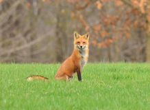 Female Red Fox or Vixen in nature Stock Images