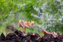 Female red fox vulpes standing on wood pile royalty free stock images
