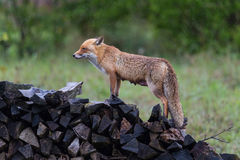 Female red fox vulpes vulpes standing on wood pile in rain Royalty Free Stock Images