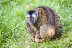 Female Red-fronted Lemur, Eulemur fulvus rufus, Stock Photo