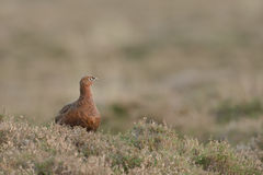 Female Red Grouse Royalty Free Stock Images
