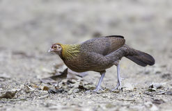 Female Red Jungle Fowl (Gallus gallus) Stock Images